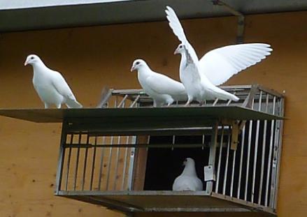 Taubenschlag weiß